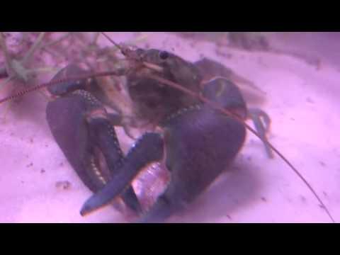 Crayfish eating goldfish