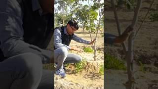 #Familialforestry How to grow vegetables with Trees, Bikaner. पेड़ों के साथ सब्जी कैसे उगाएँ I