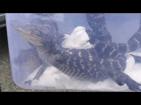 Teen Gets Ticket For Riding In Taxi with His Pet Baby Alligators