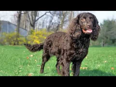 American Water Spaniel - medium sized dog breed