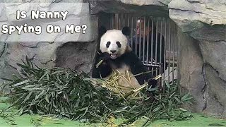 Nanny Spying On Eating Panda | iPanda