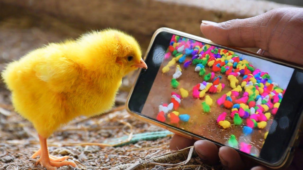 Hen Chicks PETS Reflection Mirror on Mobile Video | Phoenix MURGI Chick Funny Videos Small Birds