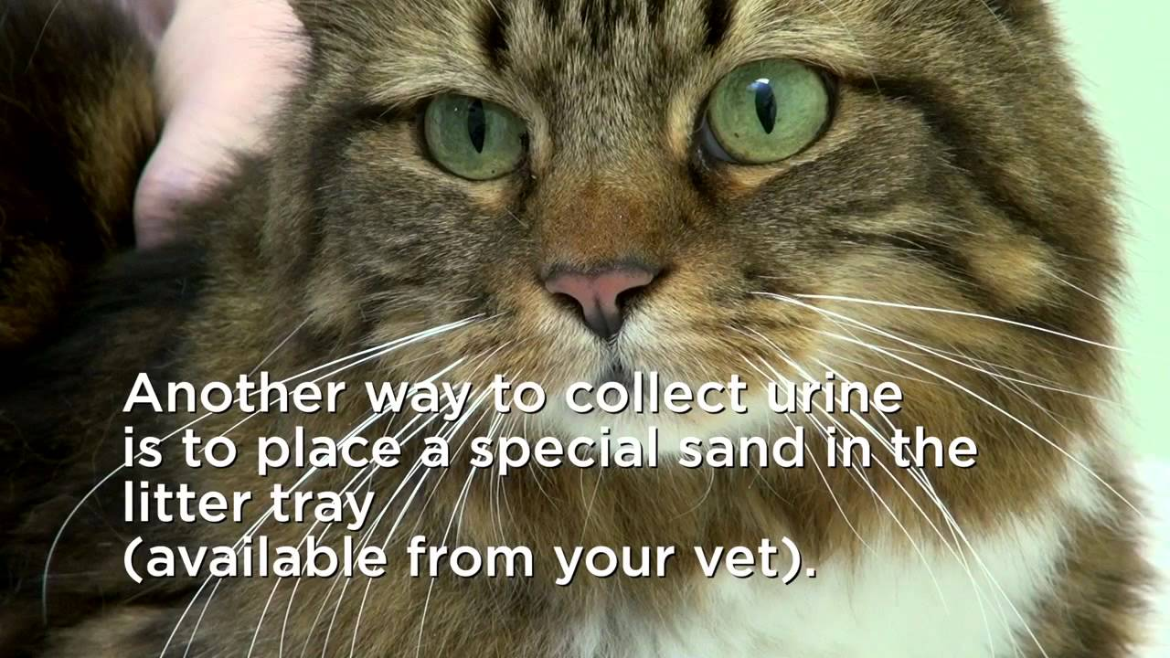 How to collect your cat's urine - YouTube