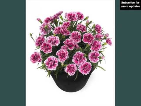 Picture Combination Of Beautiful And Lovely Flowers | Carnation Pots
