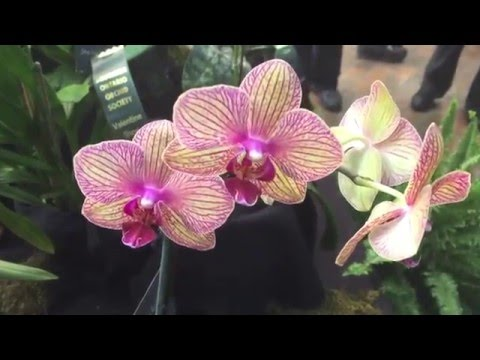 SOOS Orchid Show 2016