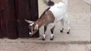 HD - Animals Goat - Koziołek - Zwierzęta domowe