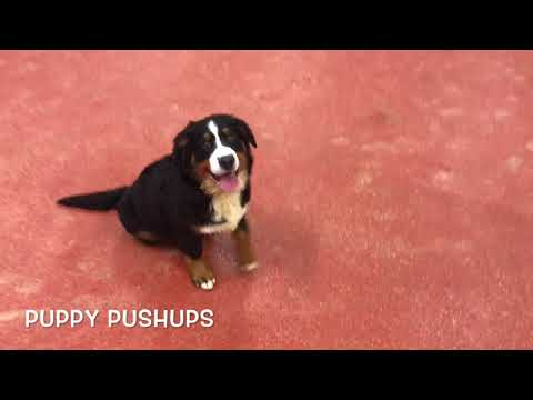 "5 Month Old Bernese Mountain Dog ""Chloe"" 2 Week Board & Train 