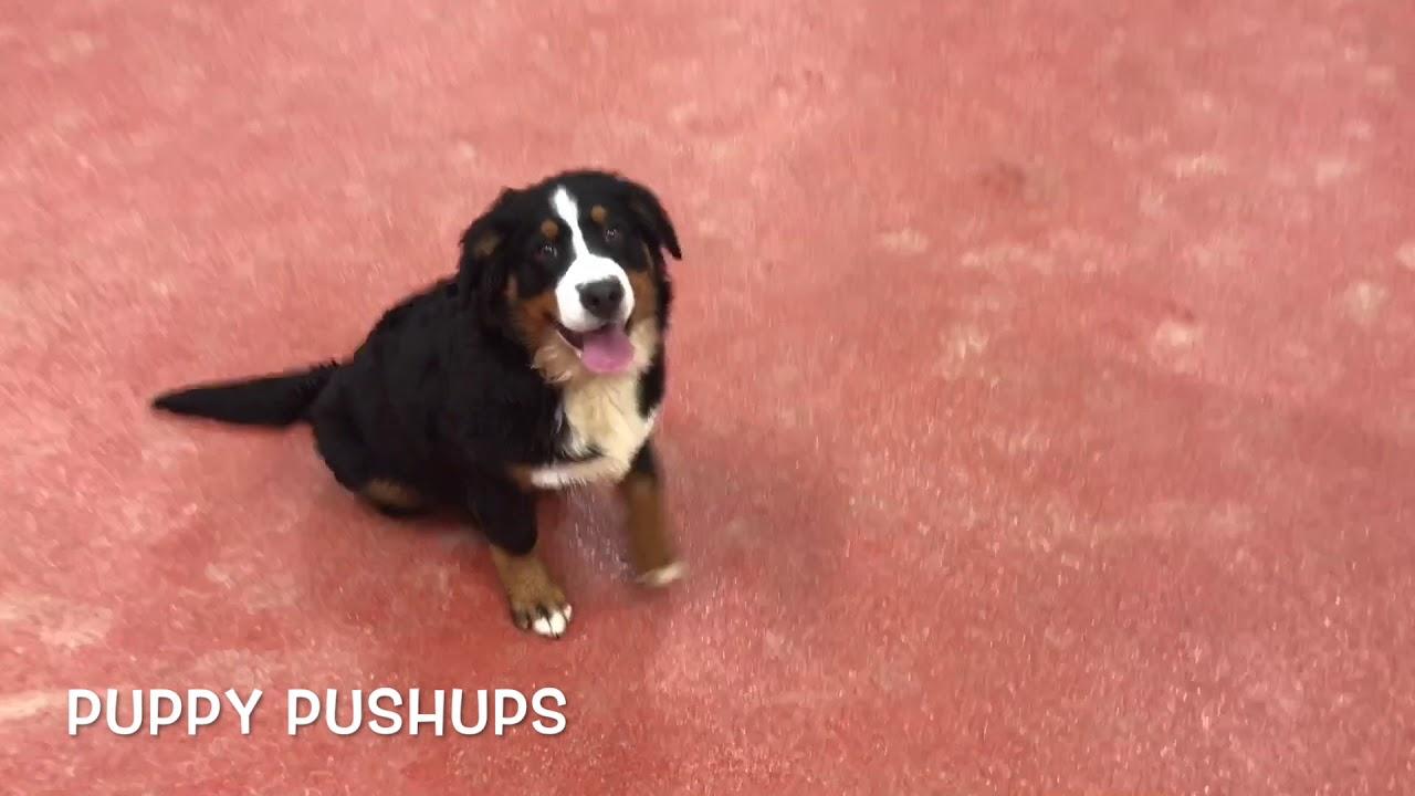 5 Month Old Bernese Mountain Dog Chloe 2 Week Board Train Northern Virginia Dog Trainers