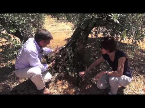 Butamarta布達馬爾它橄欖油莊走訪 橄欖園篇