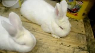 Кролиководство с ЛПХ Лунный заяц