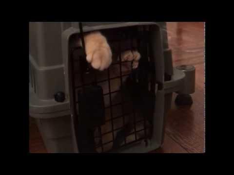 British Shorthair cat needs privacy