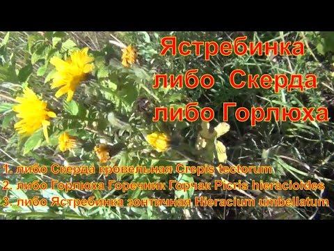 Скерда Горлюха Горечник Горчак Ястребинка Что за растение лекарственные растения полей и лесов