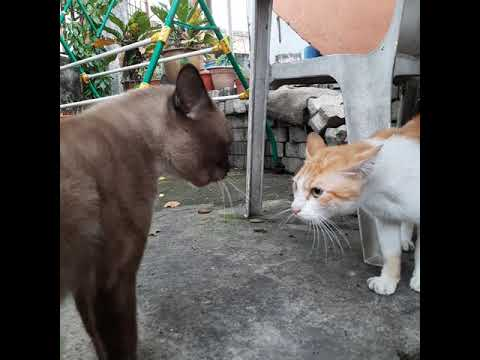 Cats fighting over territory