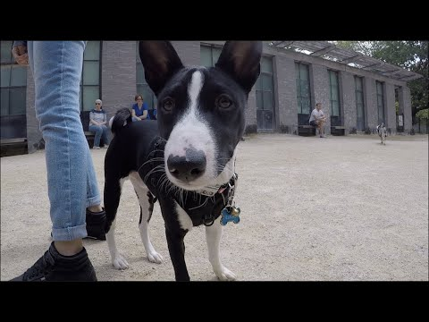New York City Basenji Gathering - 19 May 2019 - Lukas and the Rest