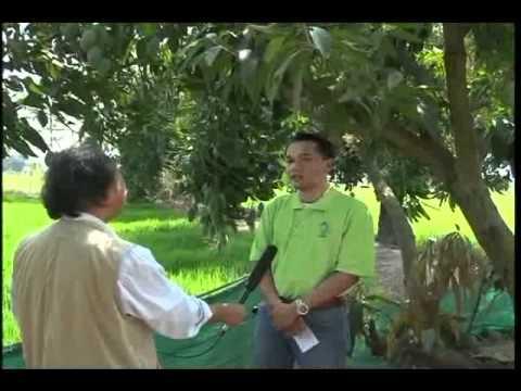 Kỹ Thuật Trồng Và Chăm Sóc Cây Xoài Thái Lan