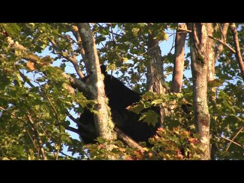 Bear Hunting With Dogs In Maine Longfellow Hunt