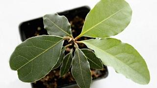 видео Фикус уход в домашних условиях: размножение, выращивание, разведение, подкормка