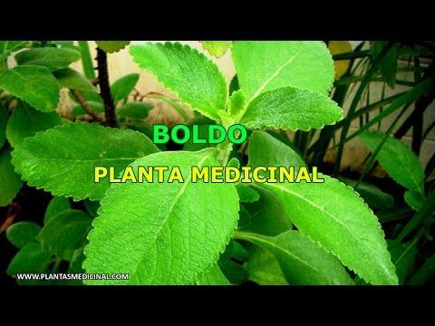 Boldo - Propiedades y Beneficios Medicinales