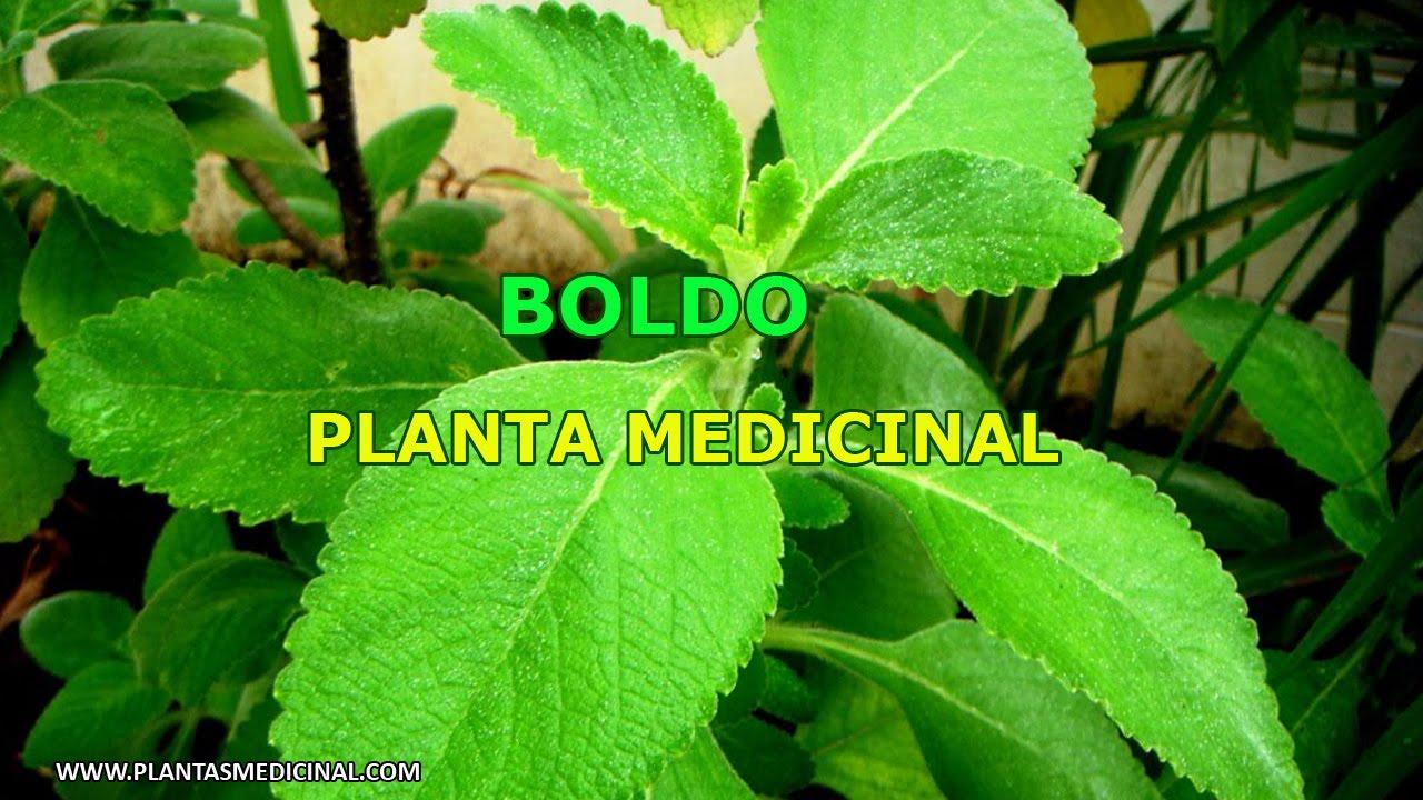 Boldo propiedades y beneficios medicinales youtube for Planta decorativa con propiedades medicinales