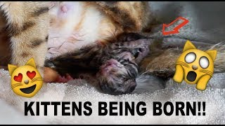 WATCH KITTENS BEING BORN!