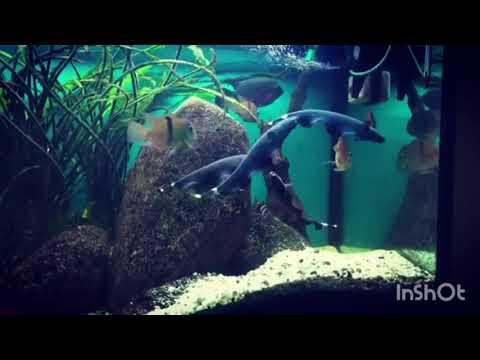 Аквариумы в Самарканде «  Черный нож – изящный пловец  »