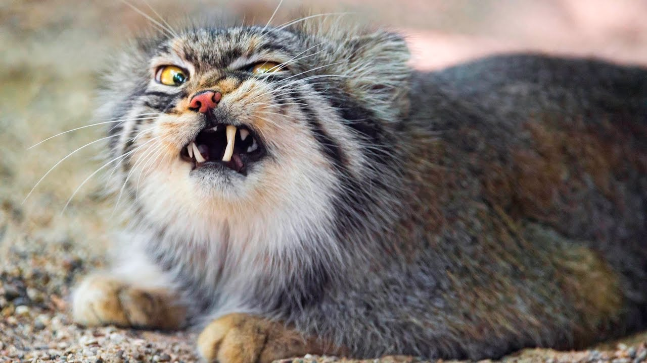 Pallas Cats Youtube