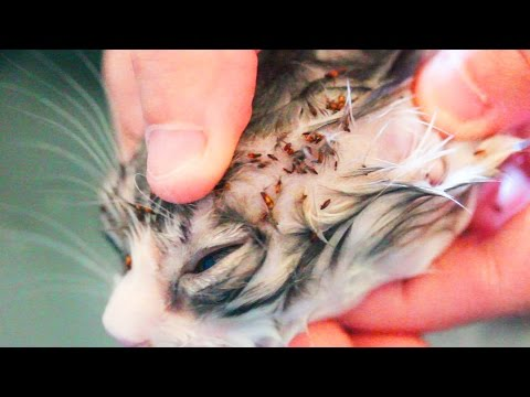 Graphic Flea Infestation In Kitten