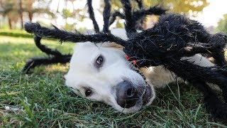 funny-dog-bailey-plays-with-giant-spider-toy-golden-retriever-puppy-in-the-park-playtime-vlog