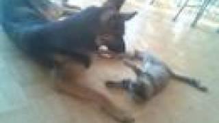 German Shepherd Dog Trying To Escape Evil Kitten Grooming