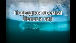 Подводная съёмка Ленок Сиг 09 02 2020г Река Вилюй
