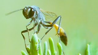 Bodysnatcher Wasp | Trials Of Life | BBC Earth