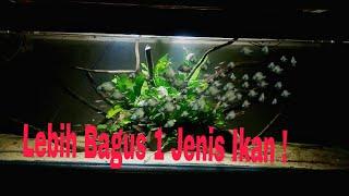 menambahkan 100 ekor ikan rednose dalam aquarium aquascape ! [schooling fish]