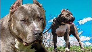 PITBULL BLUE NOSE | American pitbull terrier Blue Nose, Blue Nose Pitbull o Pit Blue