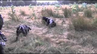 Grifones azules con jabalí