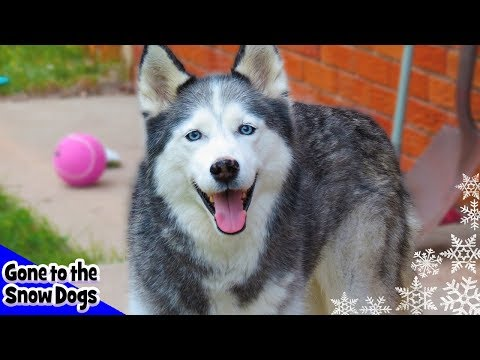 Shiloh the Husky | Our First Siberian Husky