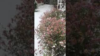 雪中的粉菊