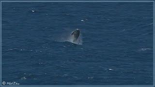 Amazing - Humpback Whale breaching multiple times, Maui, Hawaii