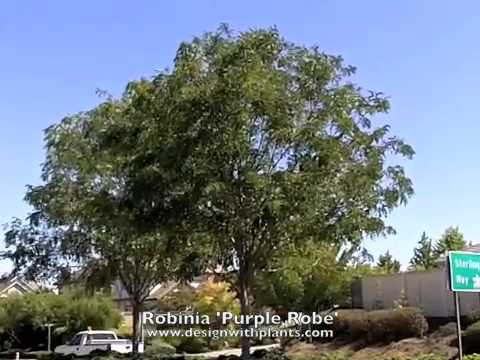Robinia Purple Robe Locust