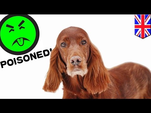 世界最大ドッグショー、入賞した犬が毒殺される