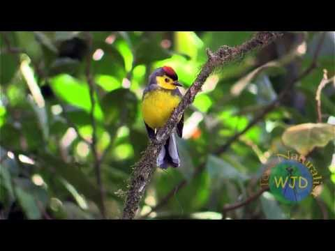 Forest birds of a montane cloud forest in Costa Rica