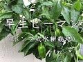 ピーマン 水耕栽培 家庭菜園 の動画、YouTube動画。