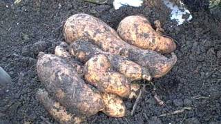 Growing Sweet Potatoes In Containers-digging/harvesting -curing-storing