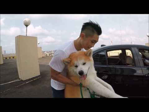 KATO the Akita Inu !!! (PETS ON Behind the Scene)