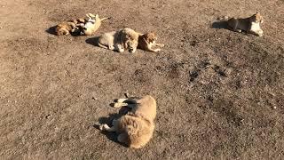 Львы и тигры