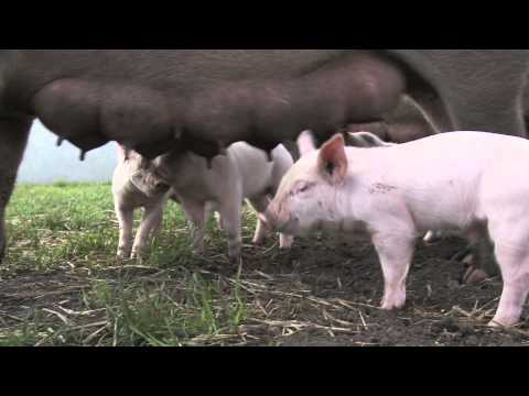 Free range pig production by Friland