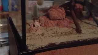 bull ants defend their nest formicarium