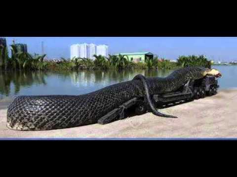 The world biggest Snake has been found in SAAD Karaj Iran ... - photo#20