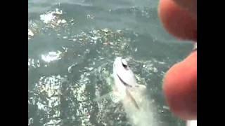 Tarpon Fishing and Shark Attacks Fly Florida Keys!