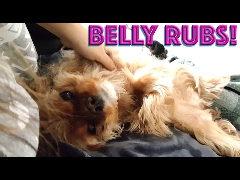 Cavalier King Charles Spaniel - 💕 Please more belly rubs 💕