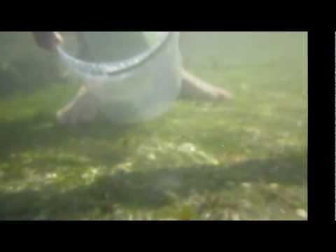 Baby Dogfish